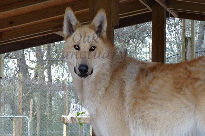 Big Oak Wolf Sanctuary | Faith Based Wolf Rescue and Sanctuary